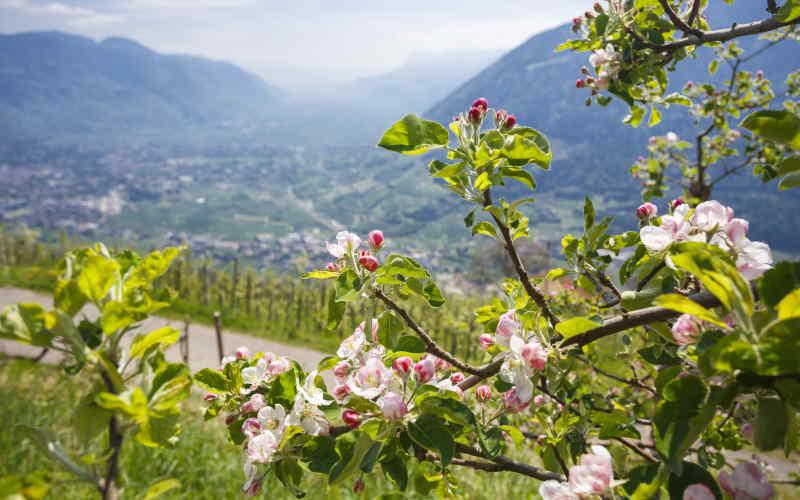 Waalweg Algund - Frühlingsblüte